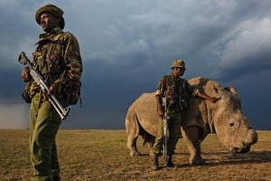 Rinocer Alb pe cale de disparitie