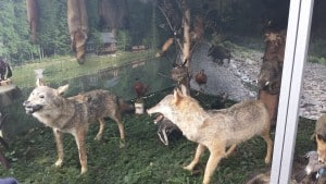 Animale Impaiate Hora Bucovinei