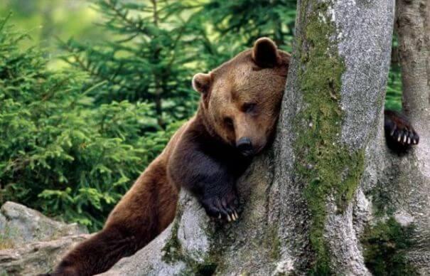 urs-in-padure
